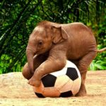 funny-elephant-played-with-football